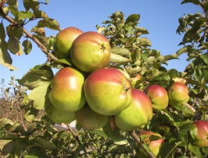Apples from Gressenhall